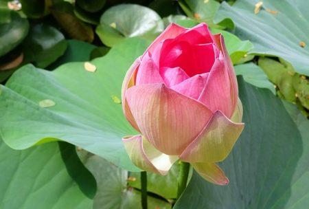 lotus-1787772_640